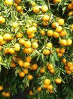 صادرات ۱۵ هزار تنی میوه های سردرختی مازندران به روسیه و عراق