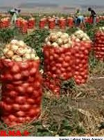 محصول پیاز جنوب کرمان در حال صادر شدن است
