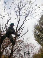 عملیات به زراعی و هرس پاییزه درختان  منطقه ۴ پایتخت